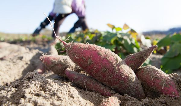 Sweet potatoes growing on farm.
